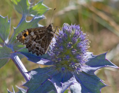 Grayling on Sea Holly - (C) Walney Wildlife
